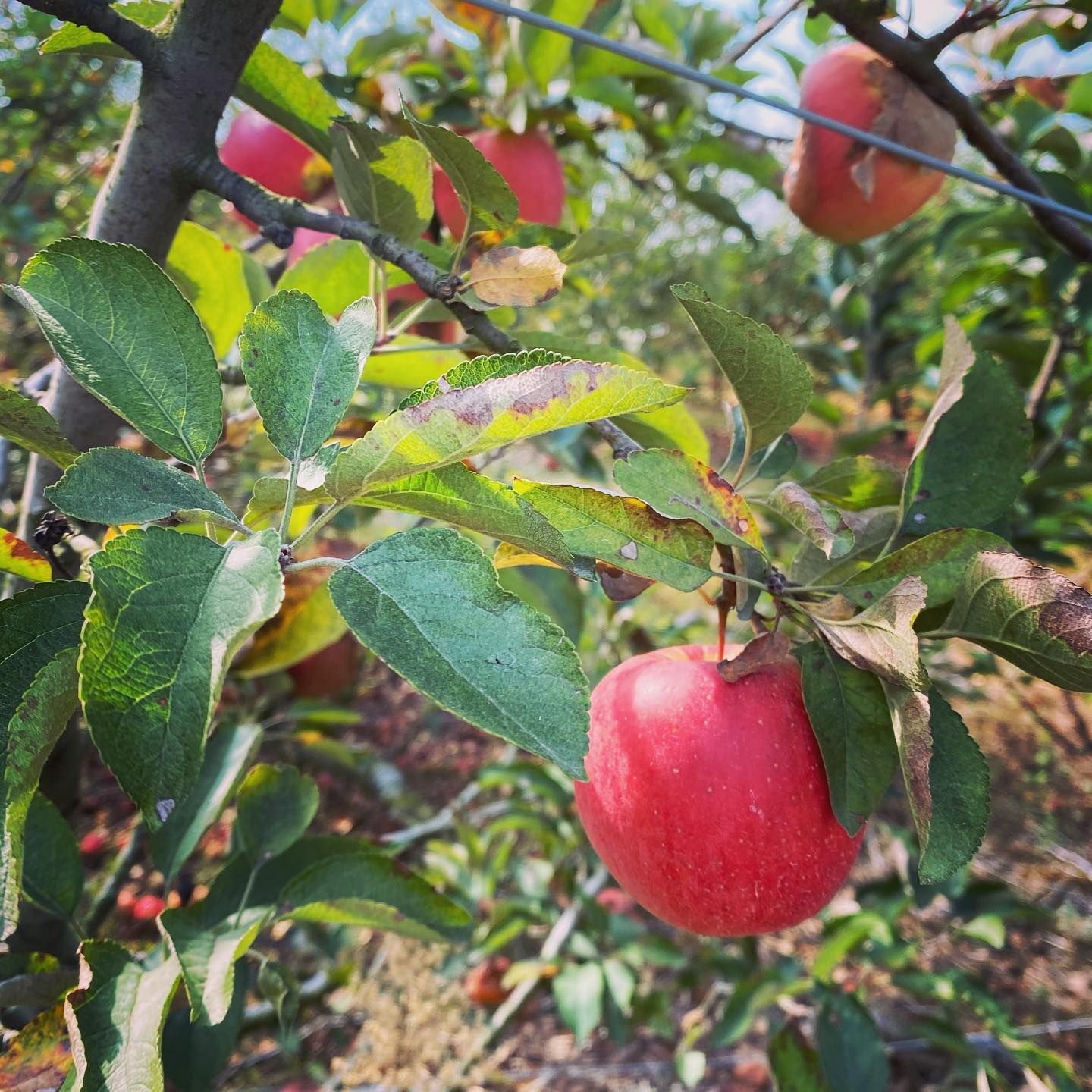 Apple Hill Orchard photo
